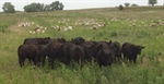 Cattle, sheep, goats are successful grazing combination